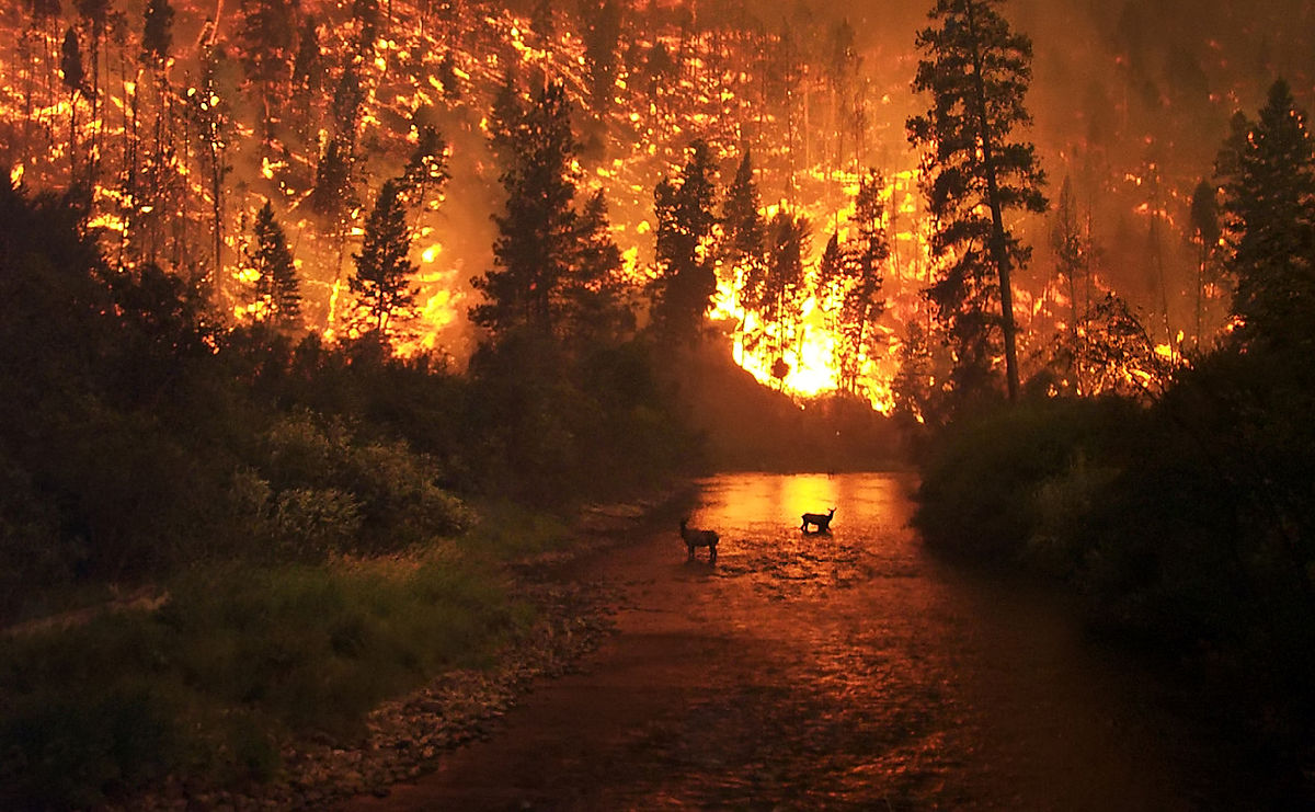 Two elk flee from a wildfire into a river in this photo of Bitterroot National Forest, Montana.