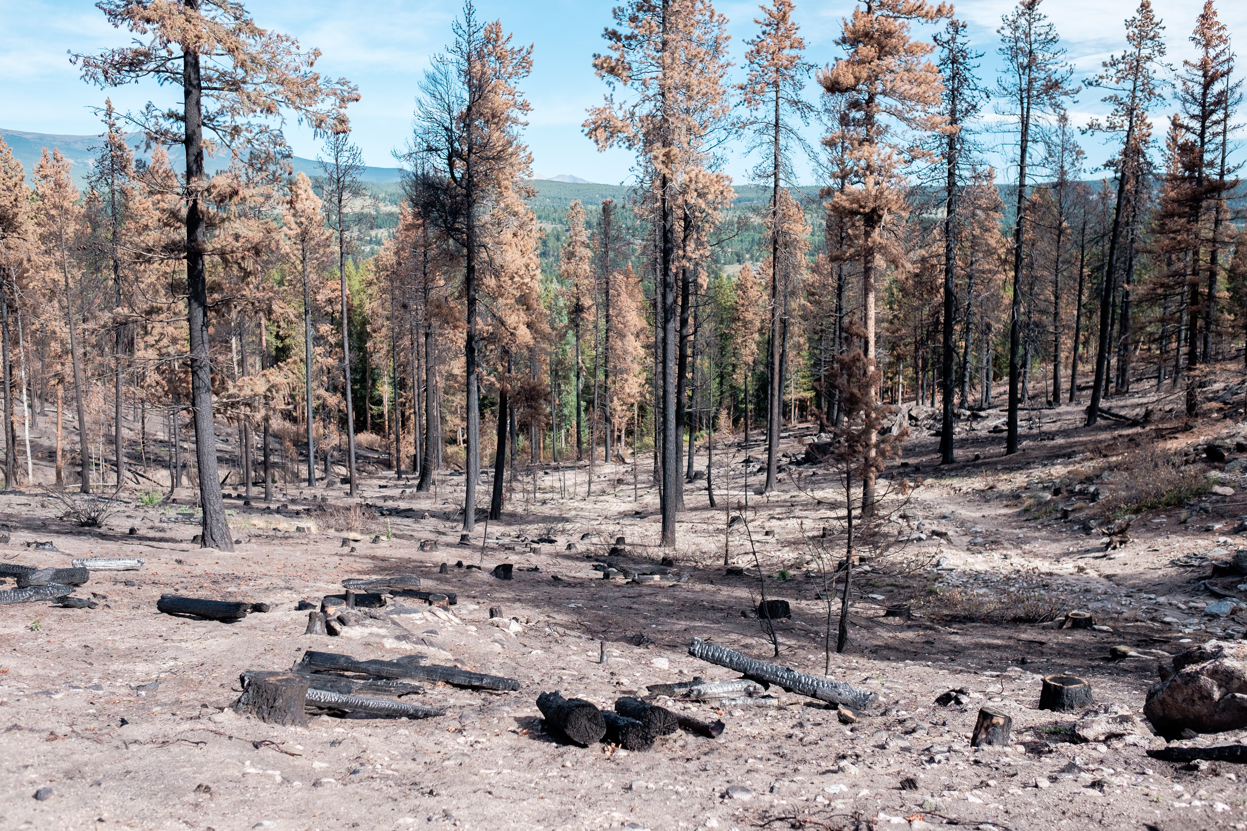 Burned trees after the Cold Springs wildfire.